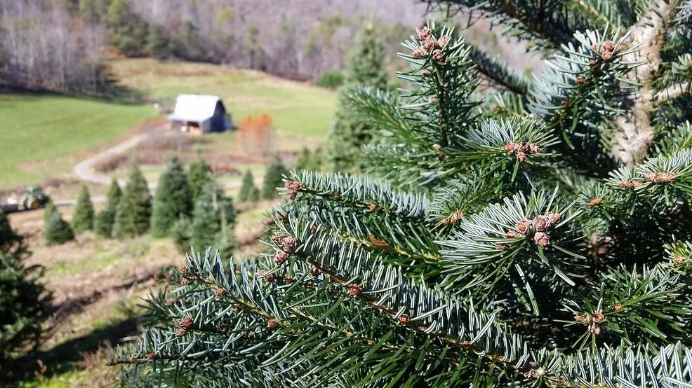 Cut Your Own Christmas Tree.Tips For Cutting Your Own Christmas Tree Wlos